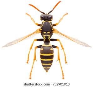 Yellow striped Paper wasp Polistes nimpha isolated on white background, dorsal view of eusocial vespid wasp or umbrella wasp
