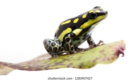 Yellow striped poison dart frog, Ranitomeya flavovitata. A beautiful small poisonous animal from the tropical Amazon rain forest in Peru.