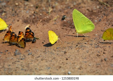 A yellow sulfur butterfly takes center stage along with a cluster of orange sulfur and cloudless sulfur butterflies on the ground at Cades Cove, Smoky Mountains National Park, Tennessee.