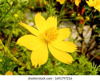 Yellow Sulfur Cosmos in garden