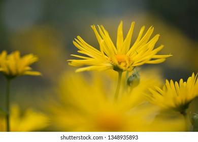 Yellow summer flowers -  / leopard's bane (Doronicum Orientale)
