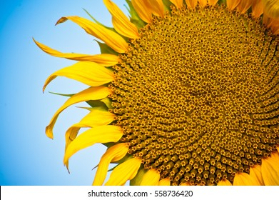 Yellow summer sunflower close  up with bright blue sky