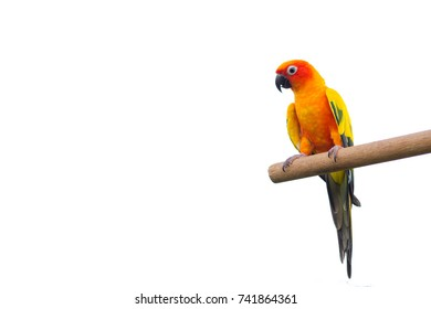 Yellow Sun Conure Parrot Bird (Psittaciformes) on White Isolated. Copy Space for Text.