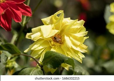 Yellow Sun Flower in Garden
