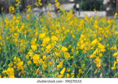 Crotalaria edible farm field crops images stock photos vectors yellow sun hemp flower field in thailand mightylinksfo