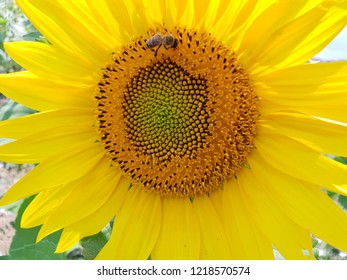 Yellow sunflower and a bee
