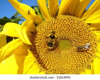 Yellow sunflower,  bee and blue sky