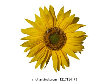 Yellow sunflower and bees on a white background.
