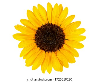 yellow sunflower bloom isolated on white