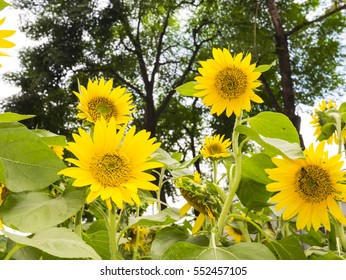 yellow sunflower blooming on summer day