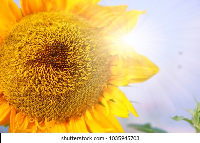 A yellow Sunflower is blooming on  sunny  sky background, closeup photo