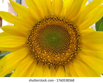 Yellow sunflower blossom close up Macro shot wonderfully interesting natural different background image buying now.