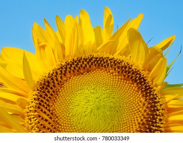 Yellow sunflower with the blue sky background