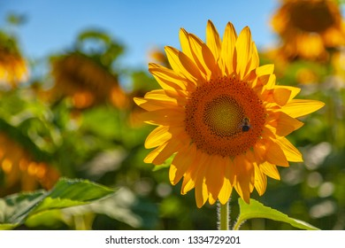 yellow sunflower in field with bee gathering pollen