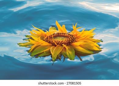 yellow sunflower flaoting on water