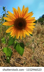 Yellow sunflower flower on a sunny summer day