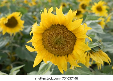 Yellow sunflower flowersSeptember 30, 2017 which was taken in the fall. I found a sunflower community in one of the parks and took a noticeable flower among them. This is the Republic of Korea.