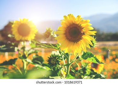 Yellow sunflower in the garden Sunflower has many health benefits, such as sunflower oil. Reduce fat in the blood.