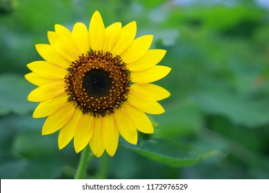 Yellow sunflower with green-leaves background
