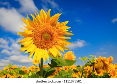 Yellow sunflower on field in sunny day