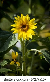 Yellow sunflower on a green background of leaves