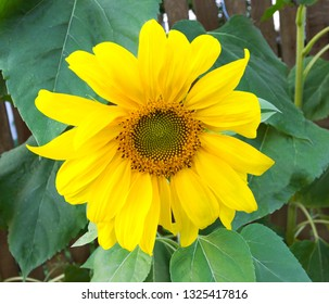 Yellow sunflower on the green leaves background