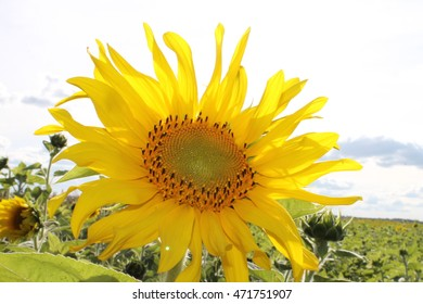 yellow sunflower on a sky background