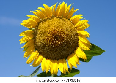 yellow sunflower over blue sky