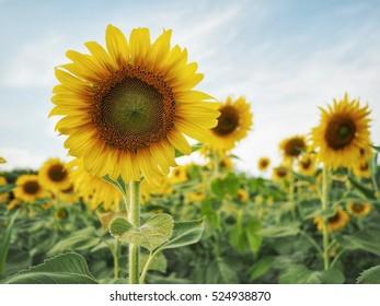 yellow sunflower photography