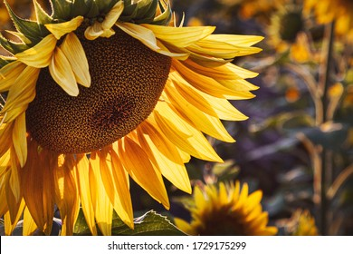 Yellow sunflower in the sunset light. Close-up. Sunflower, close-up.  Yellow big flower.