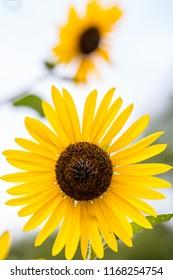 Yellow Sunflower wildflower