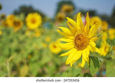 Yellow sunflowers bloom in the sun , the more beautiful yellow .