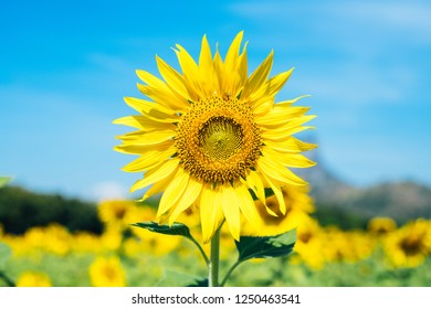 The yellow sunflowers are blooming with a beautiful blue sky in the morning. The backdrop is a field of sunflowers.