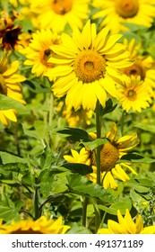 Yellow sunflowers closeup.