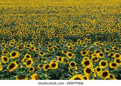 yellow sunflowers field background