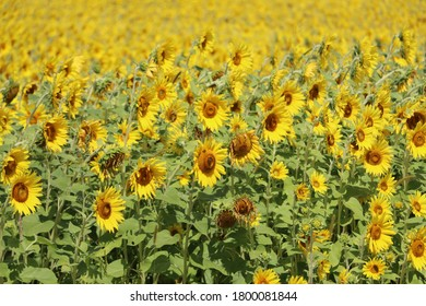 Yellow sunflowers in field on a sunny summer day.