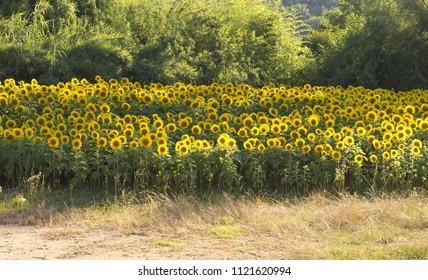 Yellow sunflowers field (Pesaro, Italy)