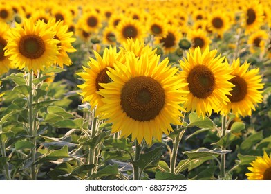 Yellow sunflowers. Field of sunflowers, rural landscape.