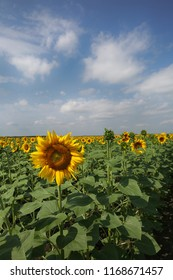 Yellow sunflowers grow in the summer field