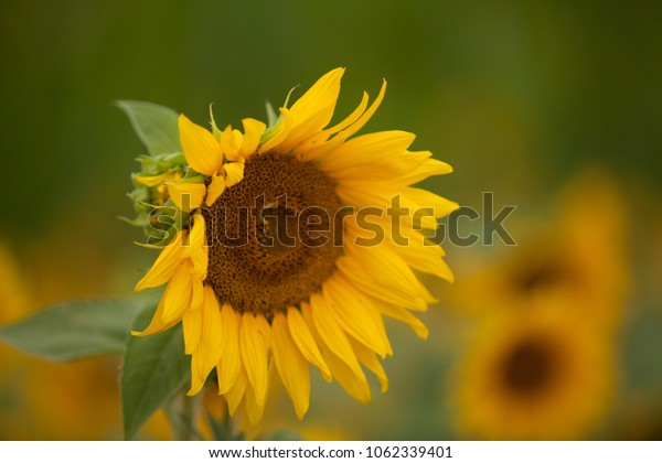 Yellow Sunflowers Growing in a Field.