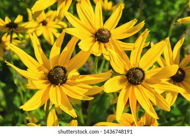 Yellow Sunflowers Rudbeckia. Yellow Sunflowers Rudbeckia contrasted with a green backdrop. Bright yellow flowers of rudbeckia on bokeh background of green leaves.