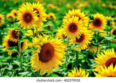 yellow sunflowers sienna italy