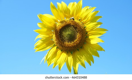 Yellow sunflowers turn to the blue sky