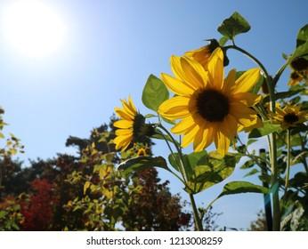 Yellow sunflowers under the blazing sun. The blue sky and the blazing sun.