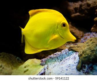 Yellow surgeon-fish