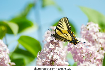 Yellow swallowtail butterfly feeding on nectar from lilac flowers in the Spring.