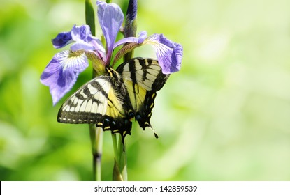 Yellow swallowtail butterfly feeding on a beautiful water iris in the Spring.