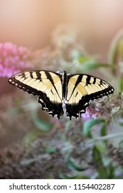 A yellow swallowtail butterfly on a butterfly bush.