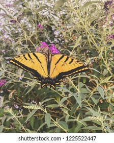 Yellow swallowtail butterfly on flowering bush.