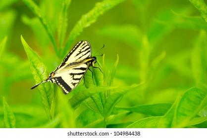 Yellow swallowtail butterfly resting on a leaf in the garden in the Spring with copy space.